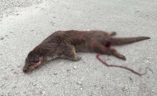 Nesli tükenme tehlikesi altında olan porsuk karayolunda ölü bulundu