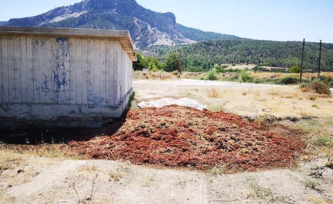 Alımlar durdu, üzümler çöpe gitti