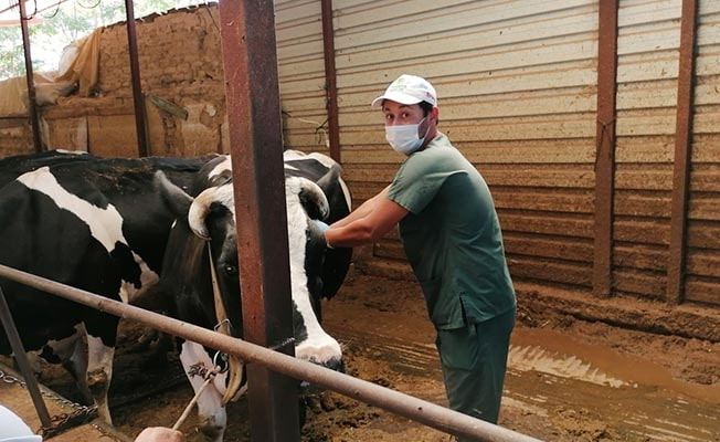 Büyükbaş hayvanlara şap aşıları yapılmaya başlandı