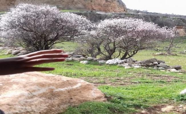 Mardin'de baharın habercisi badem çiçekleri açtı