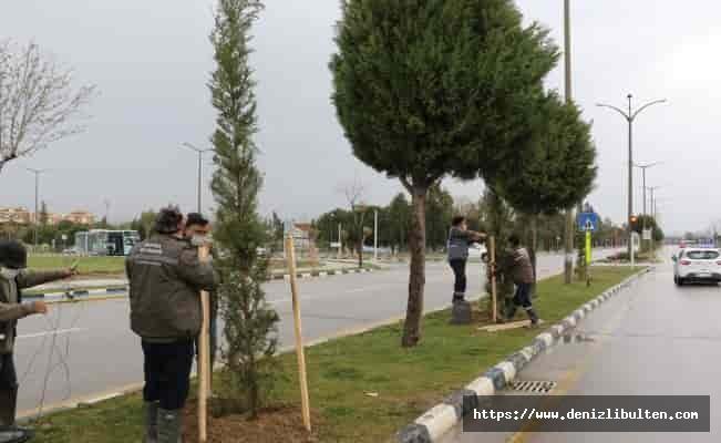 Manisa'da zarar gören ağaçlar yenileniyor