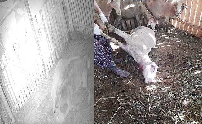 Kurt ilçe merkezine indi, ağıldaki dört koyunu telef etti
