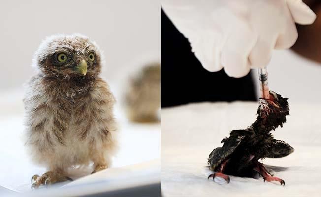 Yuvadan düşen kuş yavrularına anne şefkatinde bakım