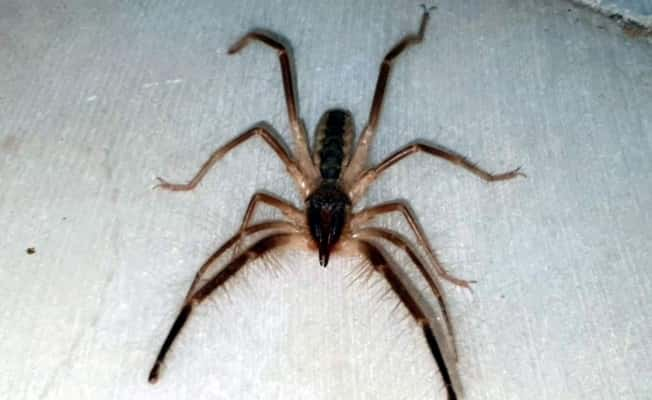 Tehlikeli 'Çöl Örümceği'  Aydın'da ortaya çıktı