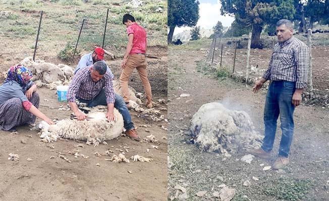 Kilosuna 50 kuruş fiyat biçilince koyun yünlerini imha ettiler