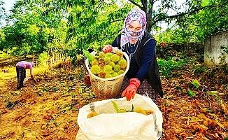 Buldan'da kestane hasadı başladı