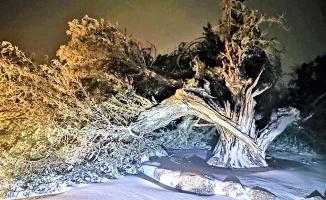 500 yıllık ardıç ağacı fırtınaya boyun eğdi