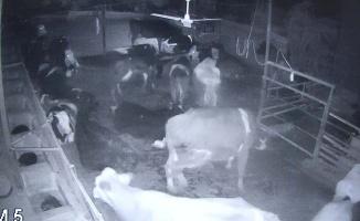 Deprem anında hayvanların yaşadıkları korku ve panik kameralara yansıdı