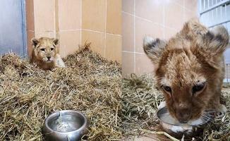 Yavru aslan operasyonu