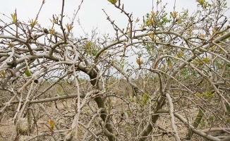 Nisan ayında nar ağaçlarını soğuk vurdu